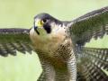 Abingdon Falcons Last Chance